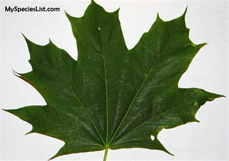 maple identiciation and characteristics