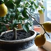 coltivazione dei limoni in vaso coltivazione agrumi frutteto