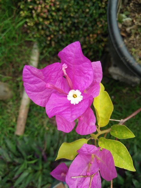 wallpaper bunga dan kupu2 gambar bunga mekar steemit