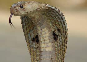 serpente volante cobra il regno della natura