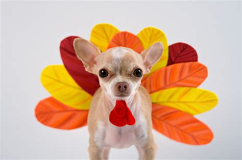 can you give dogs turkey 13 adorable dogs dressed like turkeys photos