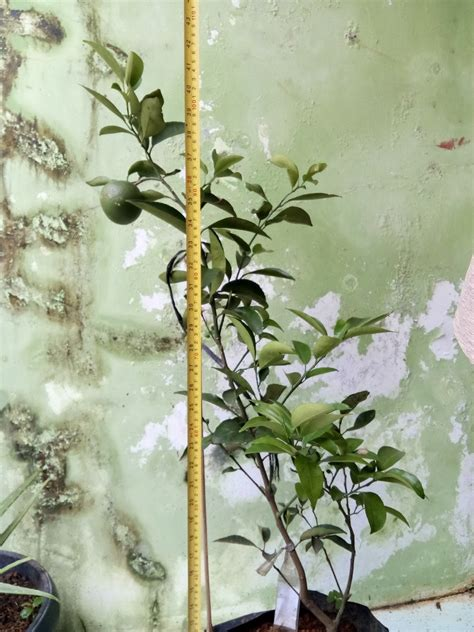 Bibit Jeruk Santang Madu Hijau jual bibit pohon tin 087877331011