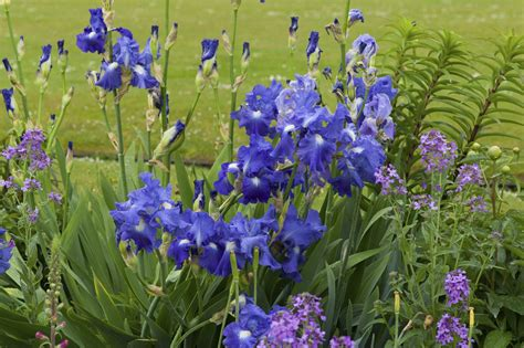 top 28 when to plant iris bulbs when to plant iris
