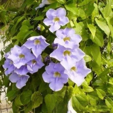 Tanaman Thunbergia Biru Blue Clock Vine jual bibit unggul tanaman thunbergia biru blue clock vine