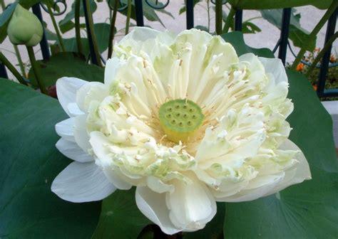 Biji Benih Bibit Bunga White Putih bibit bunga benih lotus white plenum lazada indonesia