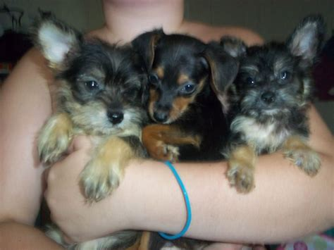 small mixed breeds types of small mixed breeds breeds puppies