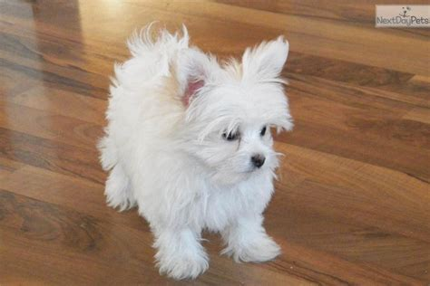 yorkie papillon mix puppies for sale yorkie maltese mix puppies breeds picture