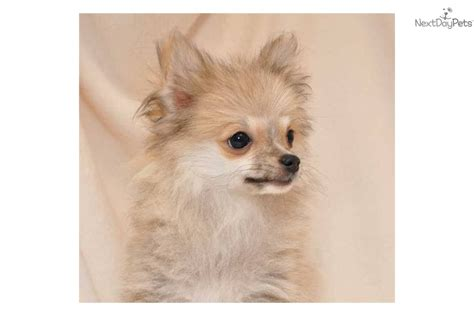 baby pomeranian price pomeranian puppy for sale near springfield missouri 9b0fbcfd e9f1