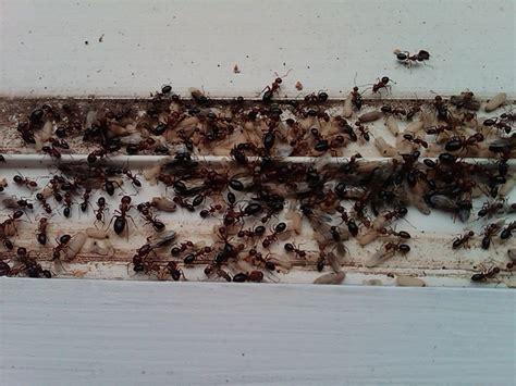 ants in bathroom sink drain pest courses sydney ants bathroom drain pest