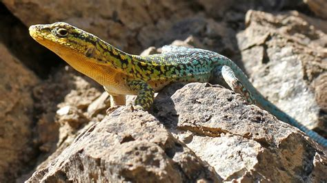 lizard images how does a lizard go vegetarian by growing its gut