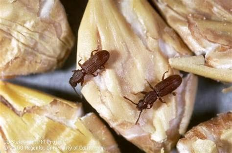 Common Pantry Pests by Dealing With Pantry Pests Pests In The Landscape