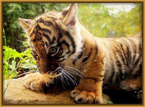 imagenes de tigres leones y leopardos fotos de tigres y leones cachorros archivos fotos de tigres