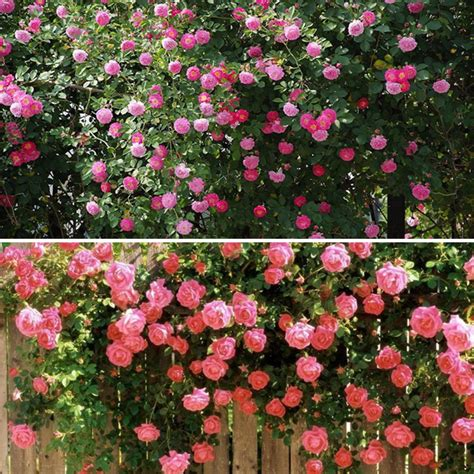 perennial climbing plants with flowers multicolor 100pcs climbing seeds perennial fragrant
