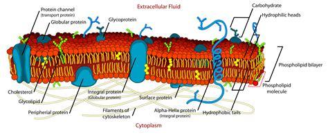 filecell membrane detailed diagram editsvg wikipedia