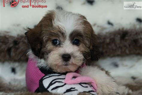 Shih Poo Shedding by Shih Poo Shihpoo Puppy For Sale Near West Palm