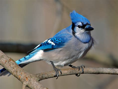 blue jay cyanocitta cristata our wild world