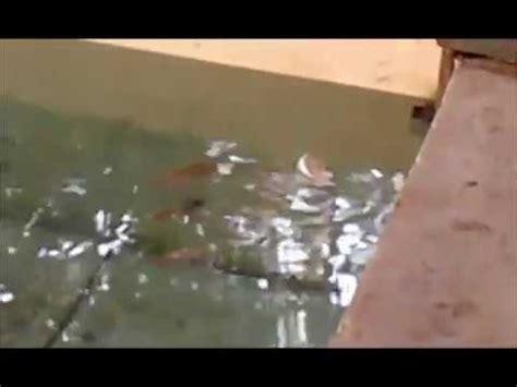 Mesin Ekstruder Pelet Ikan pakan ikan terapung tanpa ekstruder tanpa mesin pelet