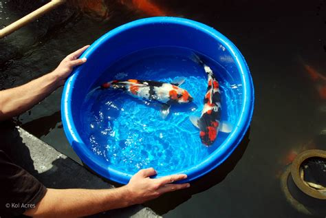 care for goldfish in ceramic bowls koi bowl chion series