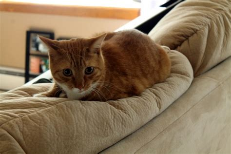 cat sitting on couch cat sitting sweet tooth sweet life