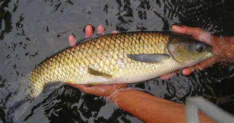Bibit Ikan Nila Pasuruan Umbulan Pasuruan Jawa Timur upt pbat umbulan pasuruan jawa timur teknik pembenihan