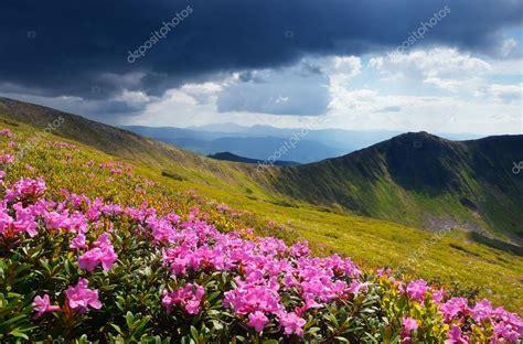 immagini paesaggi fioriti prati fioriti in montagna foto stock 169 kotenko 45915653