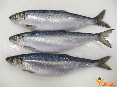 herring sm  norway  shtorm