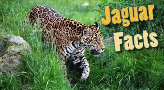 Jaguar Information And Facts Jaguar Facts For Adults Information Pictures