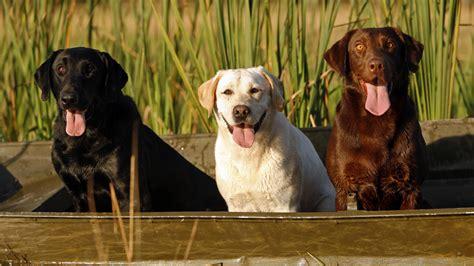 jenis anjing besar sebagai anjing penjaga satwapedia
