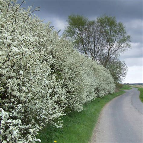 bare root blackthorn hedging