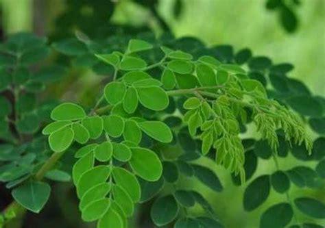 manfaat daun kelor  pengobatan bagi tubuh satu jam