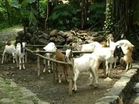 Bibit Kambing Jawa Randu 6 april 2013 pencanangan desa sedayu purworejo menjadi