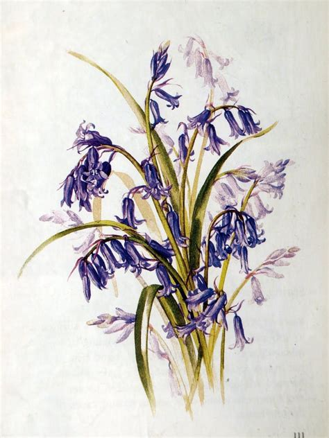 bluebell tattoo designs bluebells inspiration botanical illustration