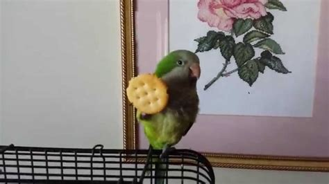 what do cracker beak birds eat chip the quaker parrot eats ritz crackers with his foot lol