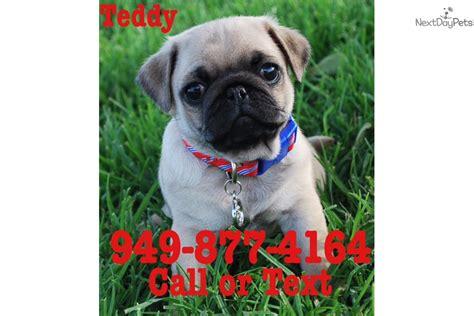 big pug teddy pug puppy for sale near orange county california c48d31b0 0731