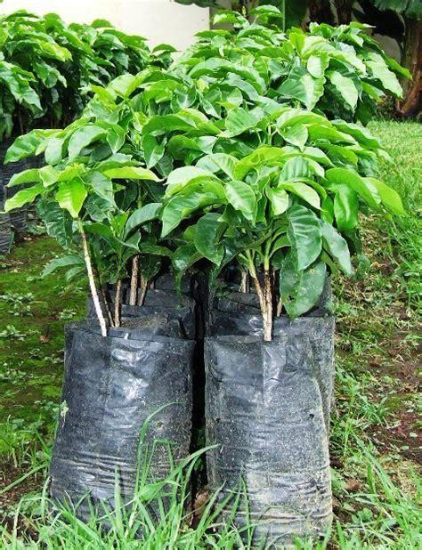 Jual Bibit Rambutan Di Bandung jual bibit kopi di bandung jual bibit tanaman unggulan