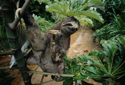 sloth going to the bathroom mystery of sloths tri weekly poop trips solved