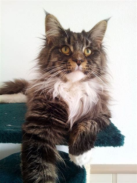 ragdoll vs maine coon 1000 images about cats maine coons and mc mixes on