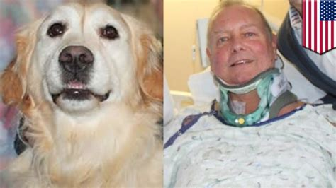 golden retriever owners golden retriever injured owner saved from freezing to on nye by loyal