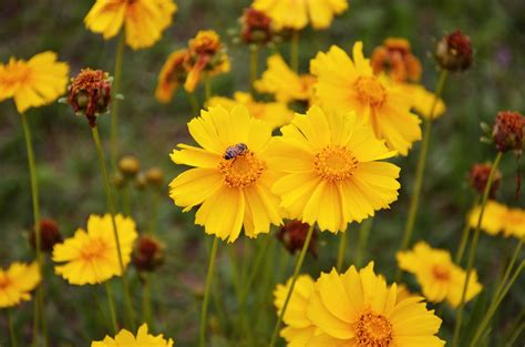 Painting Home Interior Ideas coreopsis planting and growing tips