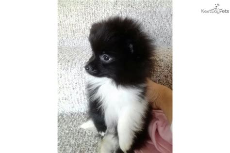 pomeranian panda puppies for sale pomeranian for sale for 1 200 near dallas fort worth b092af45 e561