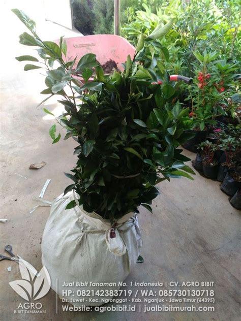 Jual Bibit Rambutan Di Makassar kirim paket bibit jeruk dekopon stek ke makassar agro