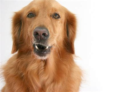 golden retriever age calculator how your s behavior can change with age petmd