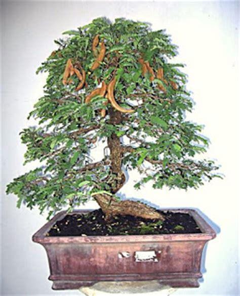 Bakalan Bonsai Asam Jawa relief bonsai bonsai asam jawa
