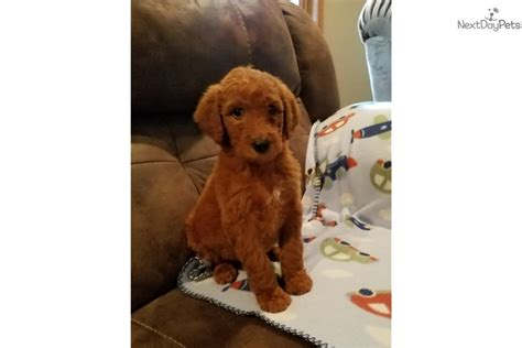 goldendoodle puppies for sale in oklahoma ranger goldendoodle puppy for sale near tulsa oklahoma