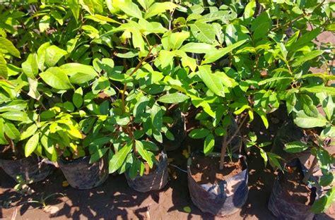 Jual Bibit Rambutan Kelengkeng bibit tanaman murah jual bibit kelengkeng di ngawi