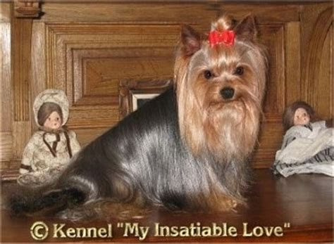 yorkie facts and information yorkie puppy information and facts photo