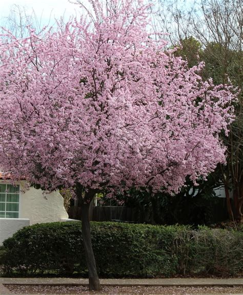 beautiful and practical spring flowering trees