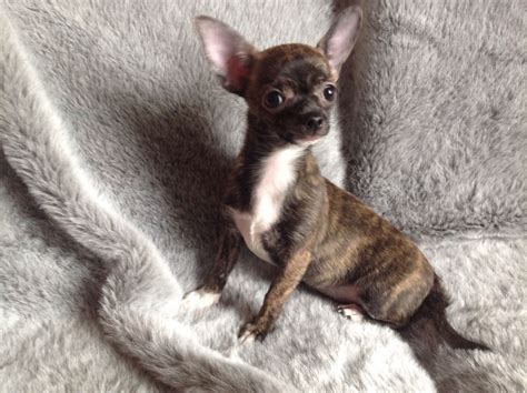 this puppy brindle chihuahua puppy stalybridge greater manchester pets4homes