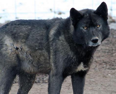 half wolf half half half wolf www pixshark images galleries with a bite
