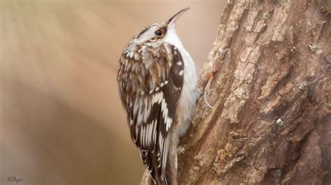 brown creeper song call voice sound